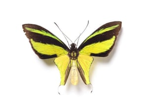 Rothschild butterflies : Ornithoptera meridionalis  butterfly