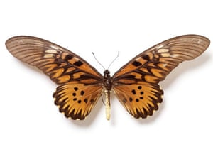 Rothschild butterflies : Druryea antimachus  butterfly