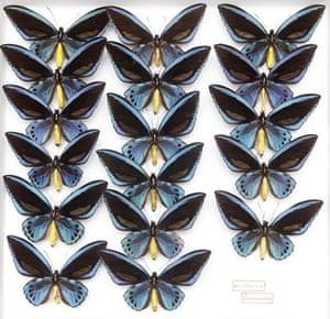 Rothschild butterflies : urvillianus flavomaculata butterfly
