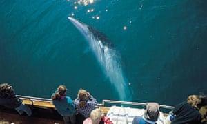 Iceland Minke whale