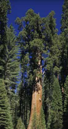 General Sherman Giant Forest California