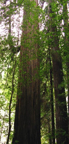 King of the Forest: Hyperion Coastal Redwood