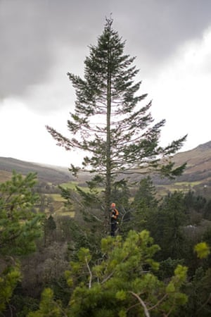 King of the Forest: Chris Hunter  scales the Stronardron Douglas Fir in Argyll