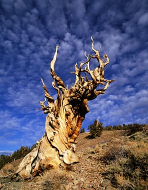 King of the Forest: Ancient bristlecone pine tree Methuselah