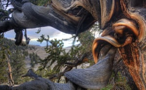 King of the Forest: USA, California, White Mountains, ancient bristlecone pine tree