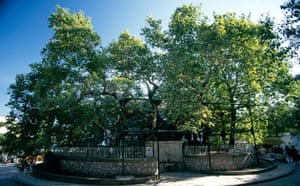 King of the Forest: Hippocrates plane tree