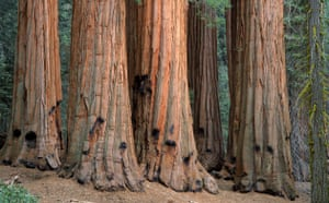 King of the Forest: GIANT SEQUOIA TREE