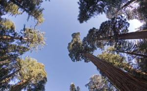 King of the Forest: Giant sequoia (sequoiadendron giganteum)