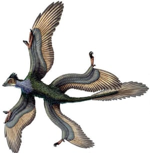 Gallery Dinosaurs: Fossil Of Four Winged Microraptor gui, Dinosaur