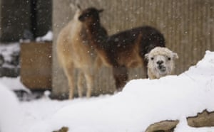 Gallery Zoo and snow: Llamas in the snow at London Zoo