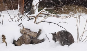Gallery Zoo and snow: An Australian Wallaby in the snow at London Zoo