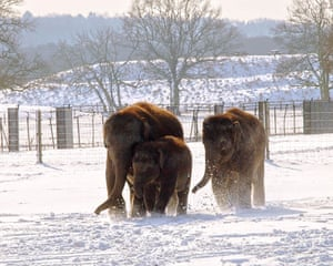 Gallery Zoo and snow: Asian elephants play in the snow