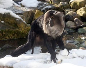 Gallery Zoo and snow: Macaque monkey making a snowball in her enclosure at Bristol Zoo Gardens