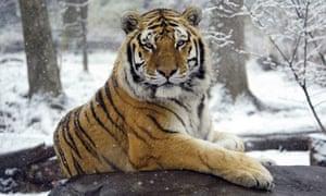 Siberian tiger Sasha sits in the snow at the Bronx Zoo