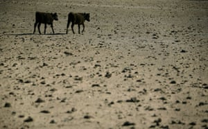 Gallery Severe Drought: Stroeder, Argentina: Cows walk on a dry field during a drought