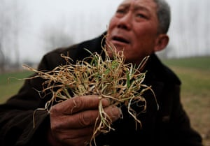 Gallery Severe Drought: Drought Hurts Vast Wheat Farmlands In China