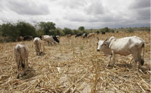 Gallery Severe Drought: Drought in Kenya: Cattle graze on dry maize stalks