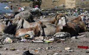 Gallery Week in wildlife: Animals graze on wasteground in the Al Waki area of Basra