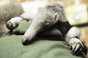 Gallery Week in wildlife: Baby anteater Benita rests on the shoulder of a zoo keeper