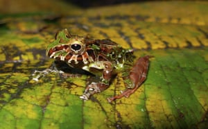 Gallery Week in wildlife: An undated handout image shows a new species of rain frog