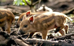 Gallery Week in wildlife: Birth of wild boar triplets