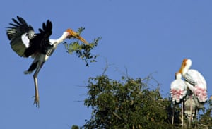 Gallery Week in wildlife: A painted stork (L) returns with a tree branch to make a nest