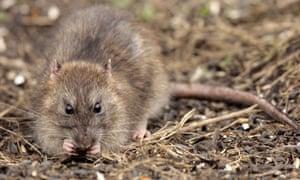 Historic Battle Village Of Flamborough Now Fighting War Against Rats