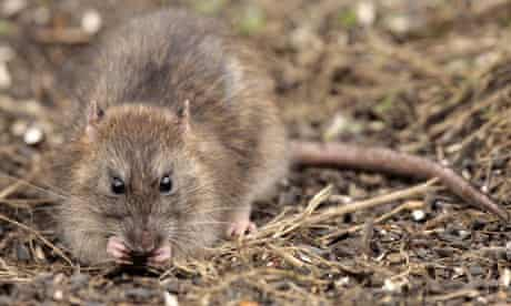 Brown Rat Rattus norvegicus