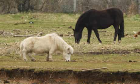 Mayflower the Shetland pony