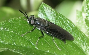 Week in wildlife: Black Soldier adult fly, whose larvae are used in a Bioconversion project