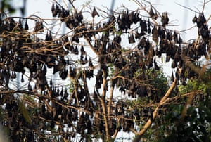 Week in wildlife: Fruit bats rest on tree within the forested area of Subic Bay
