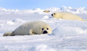 Week in wildlife: Harp seal pups lie on an ice floe in Canada
