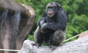 A chimpanzee is seen in his enclosure at the zoo in Furuvik, Sweden