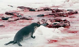 Seals clubbed to death
