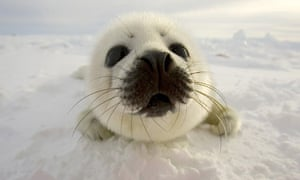 A pup harp seal searches for its mother off the coast of the Magdalen Islands, Quebec