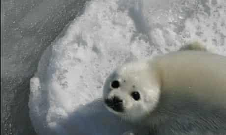 A Harp seal white coat pup struggles in poor ice conditions in the Cabot Strait, Eastern Canada