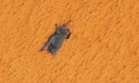 Bat clinging to fuel tank aboard space shuttle Discovery.