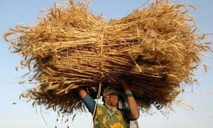 An Indian farmer carries a wheat crop