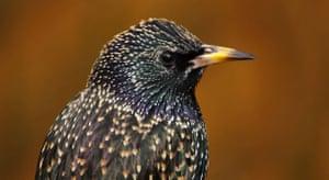 Big Garden Birdwatch: Starling by Kernow Pics
