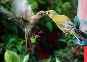 Big Garden Birdwatch: Winner: Greenfinches by Johnmullin