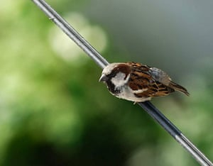 Big Garden Birdwatch: House sparrow by ivanpics