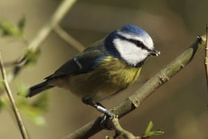 Big Garden Birdwatch: Blue tit by stuartgeeves