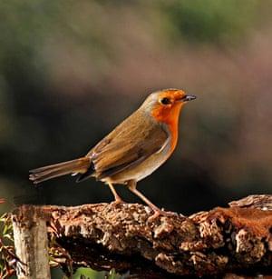 Big Garden Birdwatch: Robin by Phajus