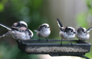 Big Garden Birdwatch: Long-tailed tits by Laura Whitehead
