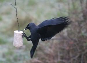 Big Garden Birdwatch: Jackdaw by Katie Fuller