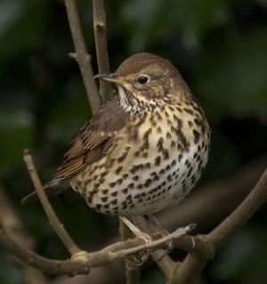 Big Garden Birdwatch: Song thrush by Kernow Pics
