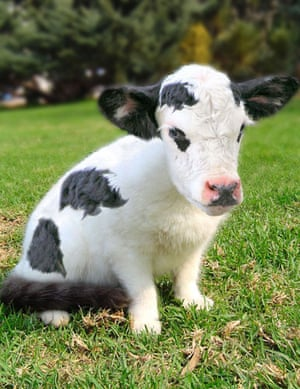 Hybrid animals photo competition: Cat-cow
