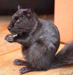 Hybrid animals photo competition: Squaguar