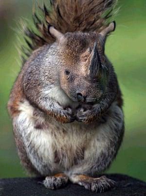Hybrid animals photo competition: Squinocerous