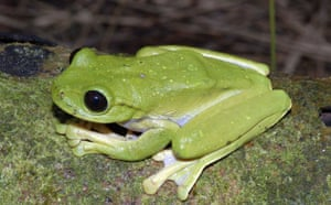 New Species Discovered: A frog : The Kaijende highlands and Hewa wilderness Papua New Guinea